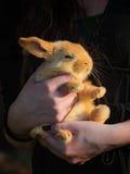 brunt kaninbarn Arkivbilder