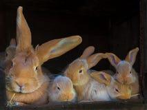 brunt kaninbarn Royaltyfria Foton