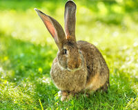 Brunt kaninsammanträde i gräs Arkivfoto