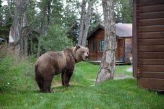 brunt kust- för björn Royaltyfri Fotografi