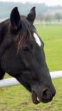 Brunt le för häst Royaltyfri Bild