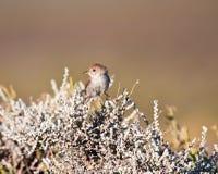 brunt litet för fågel royaltyfria foton