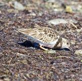 brunt litet för fågel royaltyfri foto