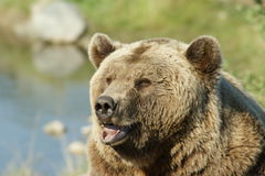 brunt lyckligt för björn Royaltyfri Fotografi