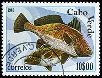 Brunt magert (den Corvina nigraen), fiskar serie, circa 1980 arkivbild
