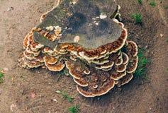 Brunt med den vita champinjonen för kantfärgare` s Polypore arkivfoto
