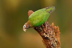 Brunt-med huva papegoja, Pionopsitta haematotis, ståendeljus - grön papegoja med det bruna huvudet Fågel för detaljnärbildstående Royaltyfria Bilder