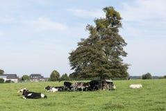 Brunt och svartvita kor som söker efter skugga arkivbilder