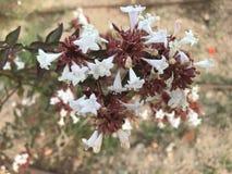 Brunt och vit, blommor på trädgården i Arenal Royaltyfri Fotografi