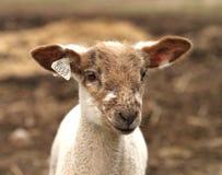 Brunt och vitt lamm med etiketter Arkivfoto