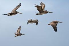Brunt pelikanflyg, Pelecanusoccidentalis Arkivbilder