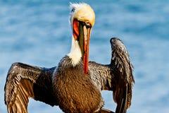 Brunt posera för pelikan Royaltyfri Bild
