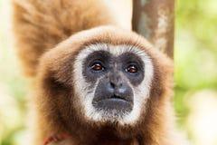 Brunt räckte gibbon eller Lar Gibbon, Thailand royaltyfria foton