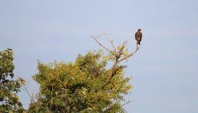 brunt rov för fågel royaltyfria foton
