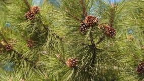 Brunt sörjer kottar på trädet arkivfilmer