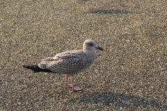 Brunt seagullslut upp Royaltyfria Foton