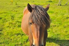 Brunt slut för kvinnlig häst upp royaltyfria foton