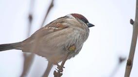Brunt sparvfågelsammanträde på en torr filialvintervind stock video