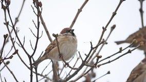 Brunt sparvsammanträde på en torr fågel för filialvintervind arkivfilmer