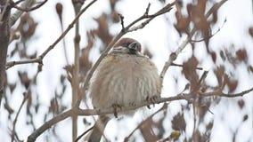 Brunt sparvsammanträde på en torr vind för filialfågelvinter arkivfilmer