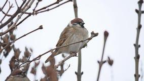 Brunt sparvsammanträde på en torr vind för filialvinterfågel stock video