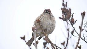 Brunt sparvsammanträde på fågel en torr filialvintervind stock video