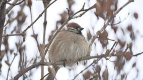 Brunt sparvsammanträde på för filialvinter för fågel en torr vind arkivfilmer