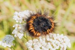 Brunt svart hårigt catepilar Royaltyfri Fotografi