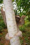 Brunt-throated sengångare på ett träd Central America Royaltyfri Bild