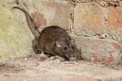 Brunt tjalla, Rattusnorvegicusen Fotografering för Bildbyråer