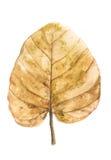Brunt torkat blad på vit bakgrund Arkivfoto