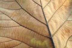 Brunt torkat blad Textur av detaljen för teakträbladshow av bladet i bakgrund, selektiv fokus Arkivfoto