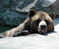 brunt vatten för björn royaltyfria bilder