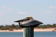 brunt vila för pelikan Fotografering för Bildbyråer