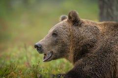 brunt wild för björn Royaltyfri Bild