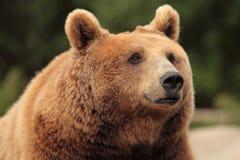 brunt wild för björn Royaltyfri Fotografi