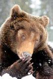 brunt wild för björn fotografering för bildbyråer