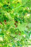 Bruntfrukter av Platanusträdet, filialer med gröna blad arkivbilder
