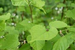 Bruntskalbaggar parar ihop på sidorna av hasselträt Arkivbild