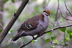 Brush Bronzewing male (Phaps elegans) Royalty Free Stock Image