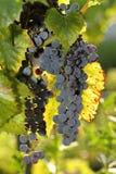 Brush dark grapes Stock Photography