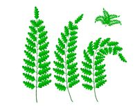 Brush of fern leaf, vector. Brush of green fern leaf, vector illustration Royalty Free Stock Images