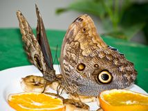 Brush-footed Butterflies Feeding Stock Photography