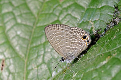 Brush-footed butterfly Royalty Free Stock Photo