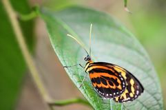 Brush-footed  butterfly Royalty Free Stock Image