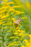Brush-footed butterfly on goldenrod. This is a photo of a brush-footed butterfly on goldenrod Stock Photo