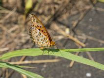 Brush-footed butterfly that stayed on grass Royalty Free Stock Image