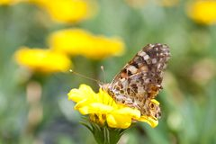 Brush-footed butterfly and yellow flowers. This is a picture of brush-footed butterfly are sitting on the yellow flowers Stock Photo