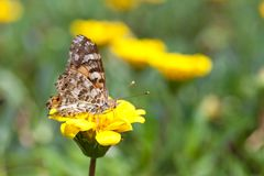 Brush-footed butterfly and yellow flowers. This is a picture of brush-footed butterfly are sitting on the yellow flowers Royalty Free Stock Image