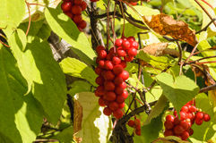 Brush fruit Schizandra . Royalty Free Stock Photos